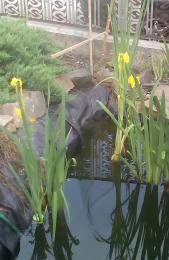 Kosatec žlutý (Iris pseudacorus)